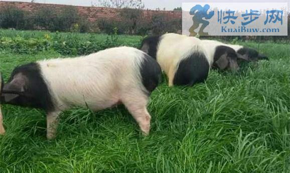 在青海过年杀猪是屯美食更是回忆